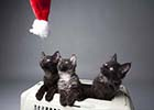 Three black and white, half-grown kittens in cat carrier with edge of Santa hat dangling in front of them