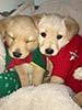 Two golden lab puppies snuggled together, dressed in red and green for Christmas